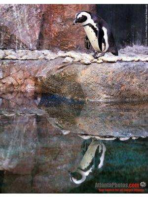 GA Aquarium- Penguin Reflection
